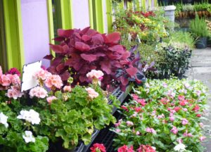 bedding plants 1